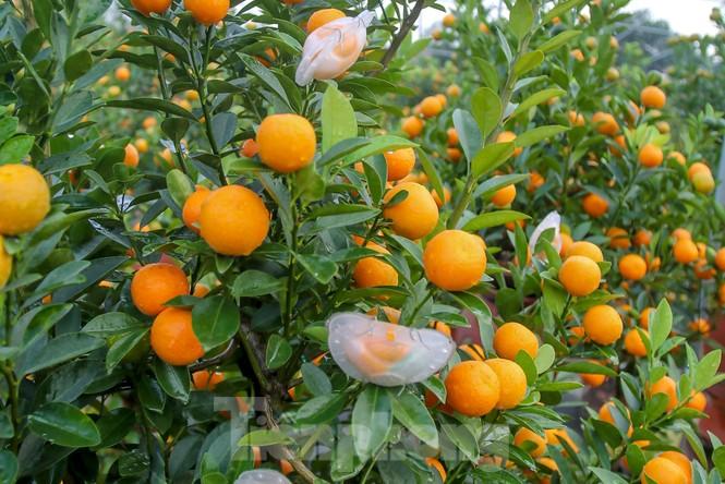 Quất bonsai có quả hình 'đĩnh vàng' hút khách ở Hà Nội - ảnh 7