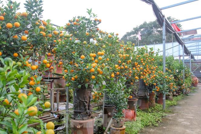 Quất bonsai có quả hình 'đĩnh vàng' hút khách ở Hà Nội - ảnh 9