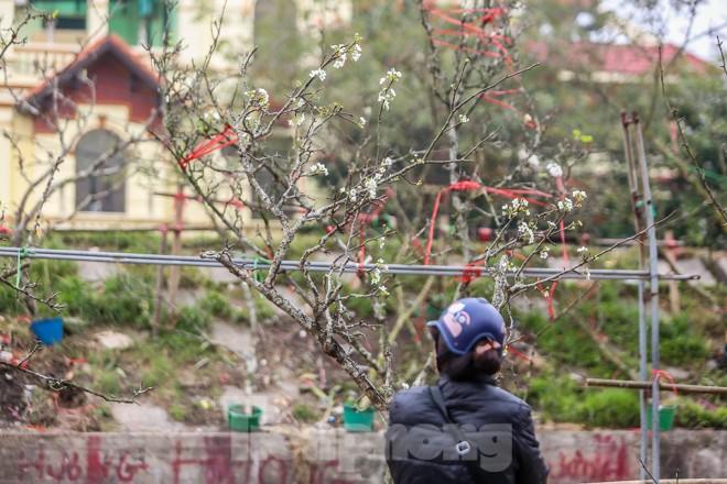 Hoa lê rừng tiền triệu hút khách Thủ đô sau Tết - ảnh 12
