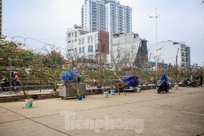 Hoa lê rừng tiền triệu hút khách Thủ đô sau Tết - ảnh 1