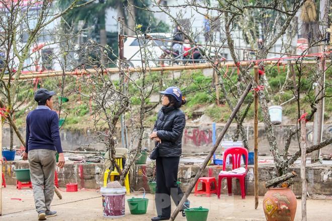 Hoa lê rừng tiền triệu hút khách Thủ đô sau Tết - ảnh 3