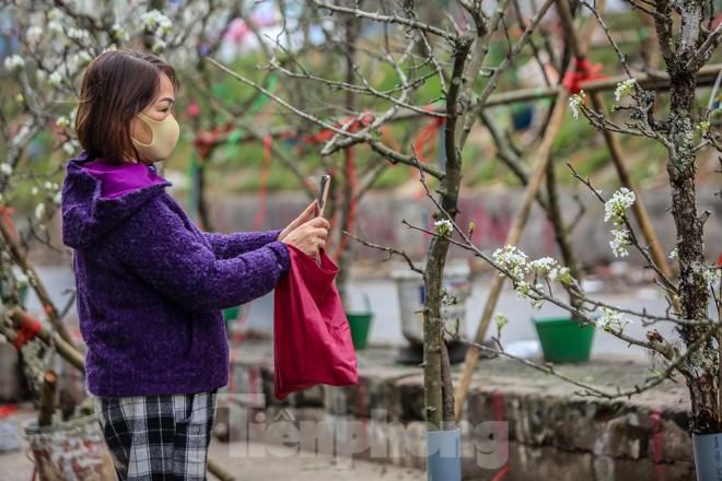 Hoa lê rừng tiền triệu hút khách Thủ đô sau Tết - ảnh 7