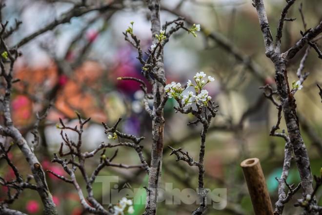 Hoa lê rừng tiền triệu hút khách Thủ đô sau Tết - ảnh 8