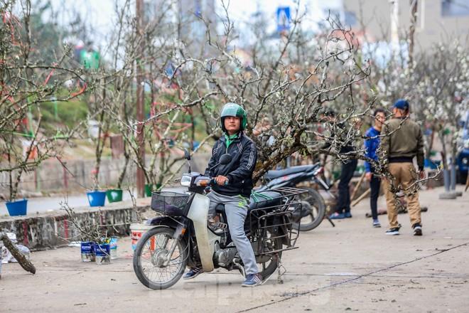 Hoa lê rừng tiền triệu hút khách Thủ đô sau Tết - ảnh 9
