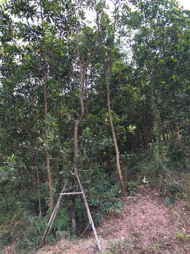 """Kỳ lạ, hàng cây tiền tỷ """"tự mọc"""" trong khuôn viên dự án ở Quảng Ninh - ảnh 7"""