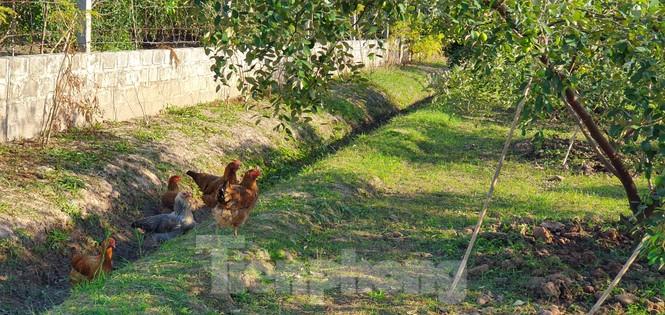 Kỳ lạ: Loại táo giống nho như đúc ở Hải Phòng - ảnh 9