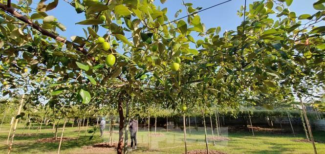Kỳ lạ: Loại táo giống nho như đúc ở Hải Phòng - ảnh 10