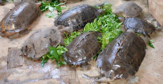 Đến chơi với đàn rùa Voi Vàng được yêu chiều hiếm thấy - ảnh 1