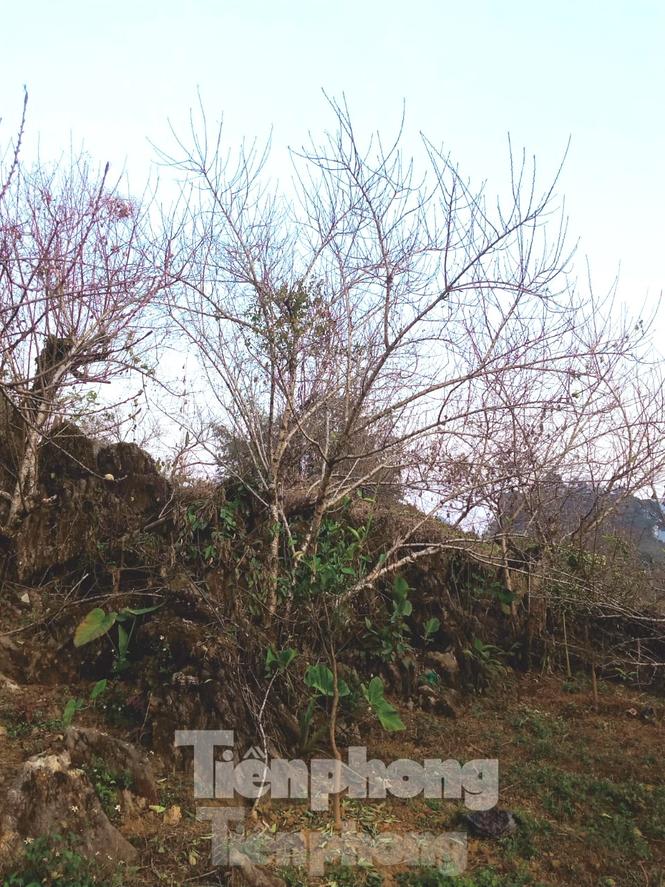 Sơn La nói gì về việc truy xuất nguồn gốc đào rừng khiến hoạt động buôn bán tê liệt? - ảnh 2