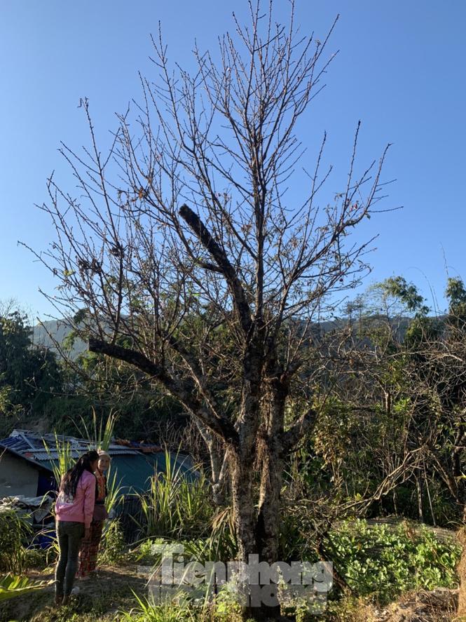 Sơn La nói gì về việc truy xuất nguồn gốc đào rừng khiến hoạt động buôn bán tê liệt? - ảnh 1