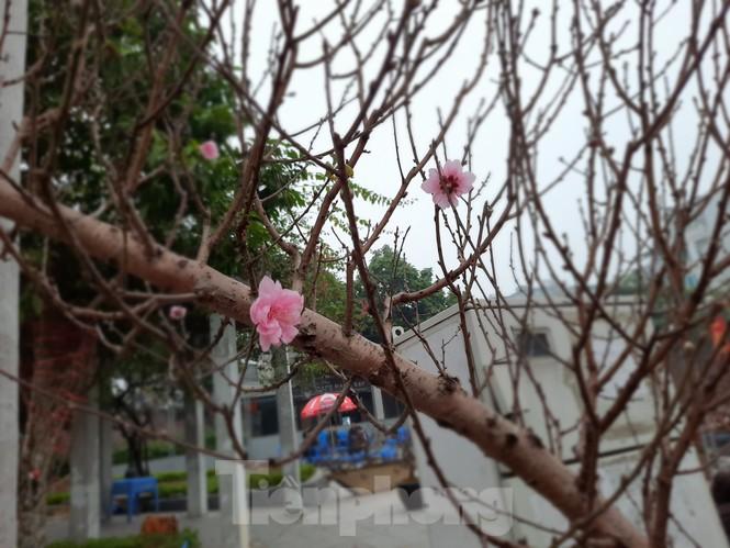 Cận cảnh xe đào dán tem đầu tiên từ Sơn La xuống Hà Nội - ảnh 6