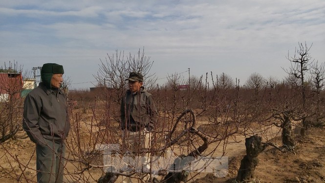 Gần tết, đào cổ Nhật Tân được thuê lại hàng chục triệu đồng/gốc - ảnh 7