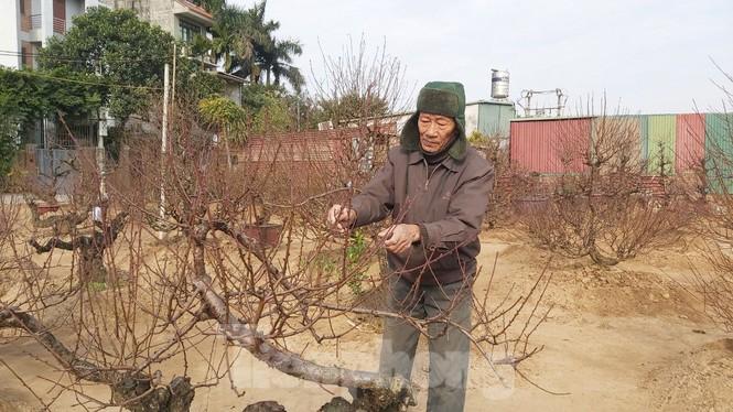 Gần tết, đào cổ Nhật Tân được thuê lại hàng chục triệu đồng/gốc - ảnh 5