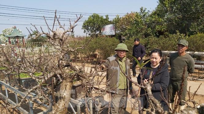 Gần tết, đào cổ Nhật Tân được thuê lại hàng chục triệu đồng/gốc - ảnh 3
