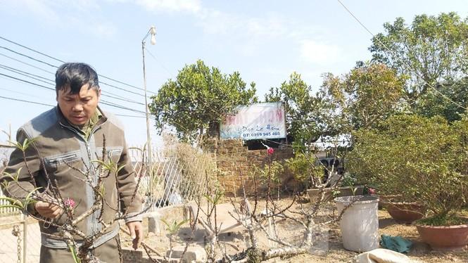 Gần tết, đào cổ Nhật Tân được thuê lại hàng chục triệu đồng/gốc - ảnh 1