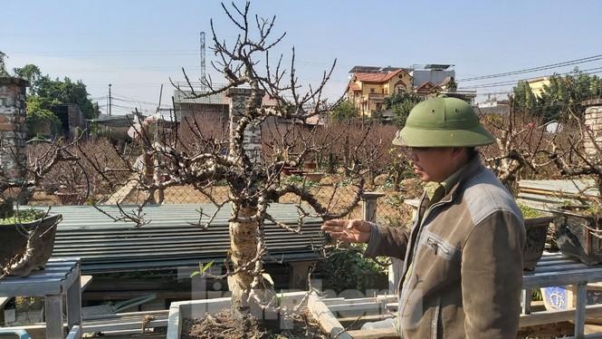 Gần tết, đào cổ Nhật Tân được thuê lại hàng chục triệu đồng/gốc - ảnh 2