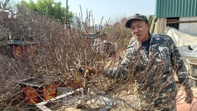 Gần tết, đào cổ Nhật Tân được thuê lại hàng chục triệu đồng/gốc - ảnh 9