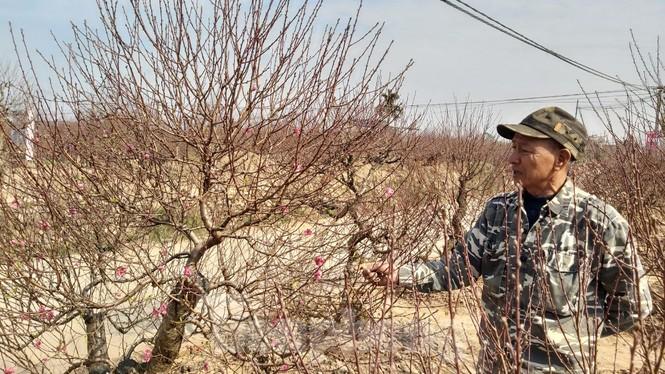 Gần tết, đào cổ Nhật Tân được thuê lại hàng chục triệu đồng/gốc - ảnh 10