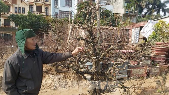 Gần tết, đào cổ Nhật Tân được thuê lại hàng chục triệu đồng/gốc - ảnh 4