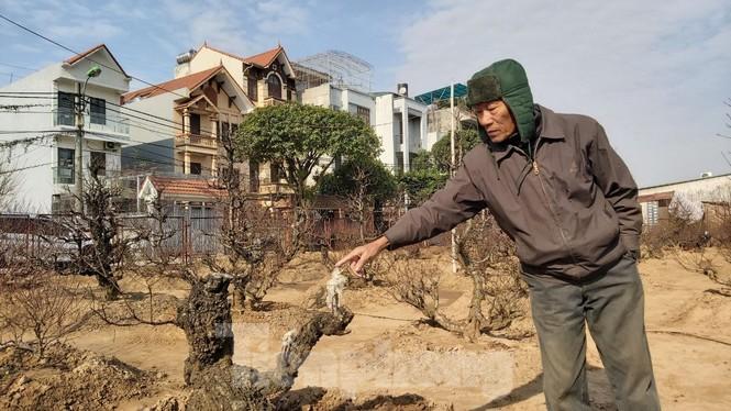 Gần tết, đào cổ Nhật Tân được thuê lại hàng chục triệu đồng/gốc - ảnh 8