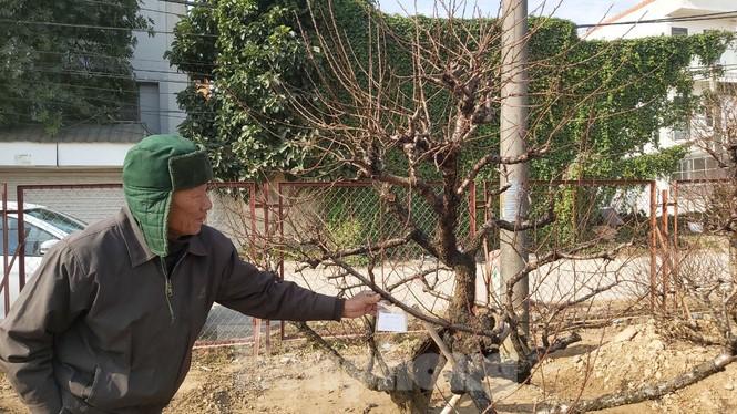 Gần tết, đào cổ Nhật Tân được thuê lại hàng chục triệu đồng/gốc - ảnh 6