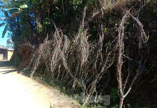 Dân buôn bỏ cuộc, dân vùng cao lo mất Tết vì đào rừng khó về xuôi - ảnh 1