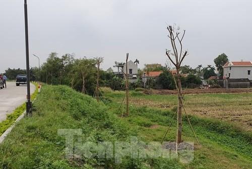 Vụ Quản lý Đê Điều chỉ đạo xử lý hành vi ngang nhiên trồng cây lớn cạnh chân đê  - ảnh 1