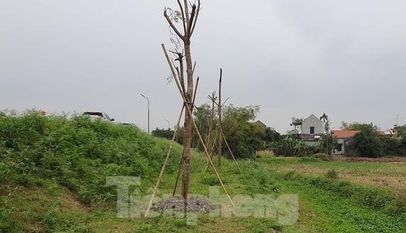 Vụ Quản lý Đê Điều chỉ đạo xử lý hành vi ngang nhiên trồng cây lớn cạnh chân đê  - ảnh 2