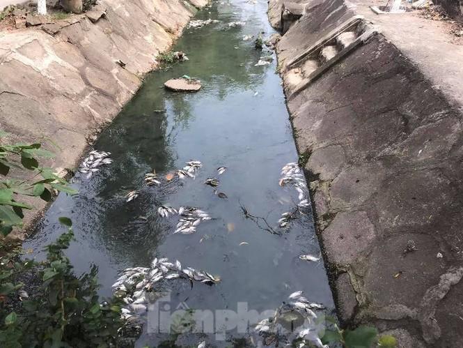 Cá chết trắng kênh gần khu bảo tàng ở Bình Dương - ảnh 1
