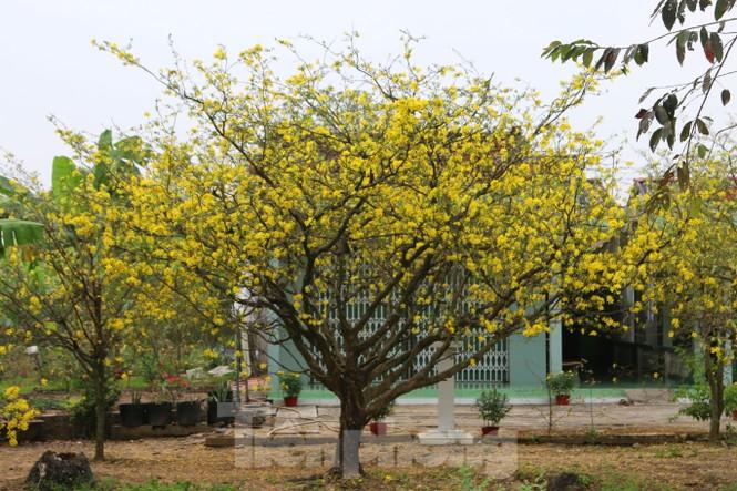 Hai cây mai cổ thụ tiền tỉ ở Đồng Tháp - ảnh 9