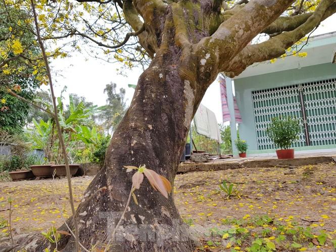 Hai cây mai cổ thụ tiền tỉ ở Đồng Tháp - ảnh 15