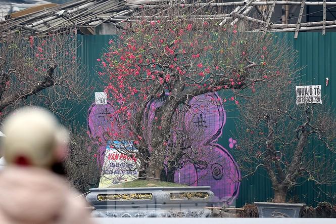 """Chiêm ngưỡng cây đào """"khủng"""" giá 100 triệu ở Thủ đô - ảnh 13"""