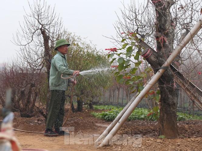 Làng đào Nhật Tân vào mùa - ảnh 1