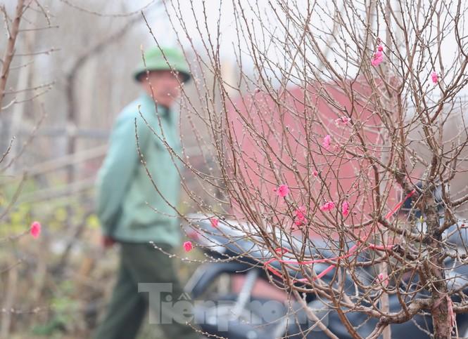 Làng đào Nhật Tân vào mùa - ảnh 6