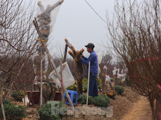 Làng đào Nhật Tân vào mùa - ảnh 10