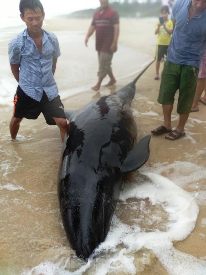 Ngư dân Huế vật lộn với sóng to gió lớn cứu hộ cá heo dạt bờ - ảnh 4