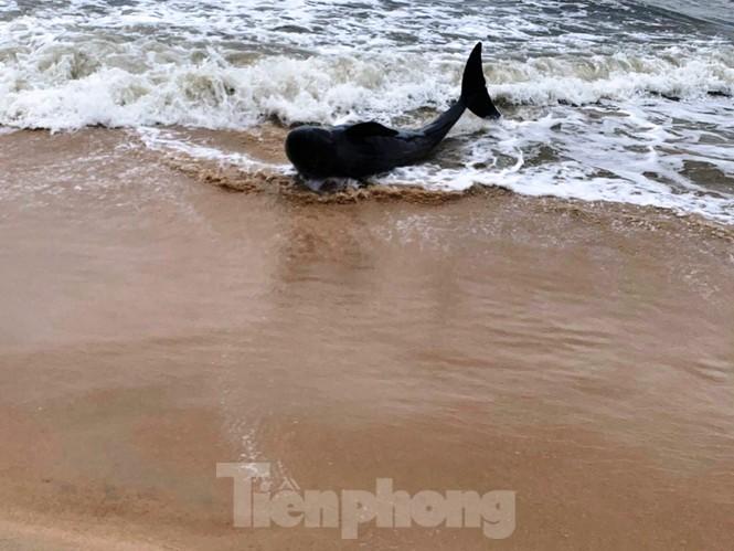 Ngư dân Huế vật lộn với sóng to gió lớn cứu hộ cá heo dạt bờ - ảnh 2