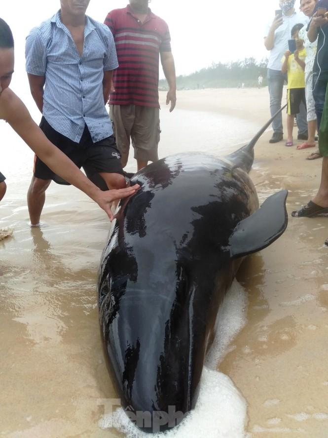Ngư dân Huế vật lộn với sóng to gió lớn cứu hộ cá heo dạt bờ - ảnh 3
