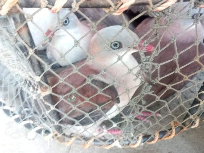 Thả hàng chục cá thể chim rừng săn bắt trái phép về môi trường tự nhiên tại Huế - ảnh 3