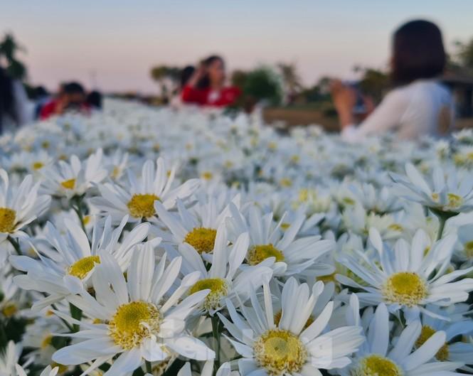 """Nhà vườn ở Hải Phòng bội thu nhờ dịch vụ """"check-in"""" cùng cúc họa mi - ảnh 3"""