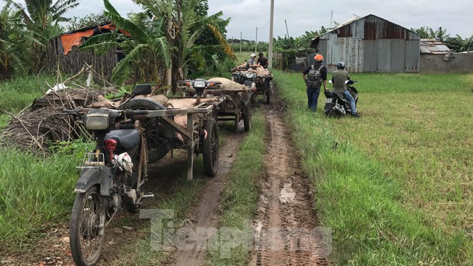 Ớn lạnh hình ảnh lợn chết vì dịch tả vứt la liệt trong rừng tràm ở Sài Gòn - ảnh 6