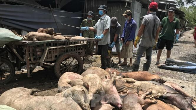 Ớn lạnh hình ảnh lợn chết vì dịch tả vứt la liệt trong rừng tràm ở Sài Gòn - ảnh 10