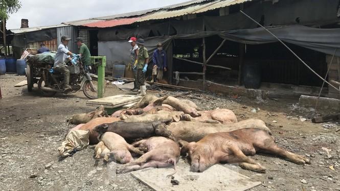 Ớn lạnh hình ảnh lợn chết vì dịch tả vứt la liệt trong rừng tràm ở Sài Gòn - ảnh 13