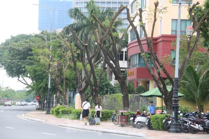 Hàng trăm cây xanh ở Đà Nẵng bị cặt trụi cành - ảnh 1