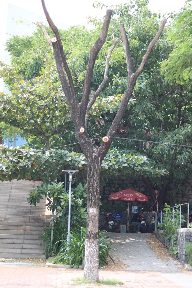 Hàng trăm cây xanh ở Đà Nẵng bị cặt trụi cành - ảnh 8