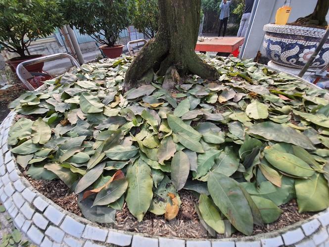 Dân trồng mai Sài Gòn trẩy lá