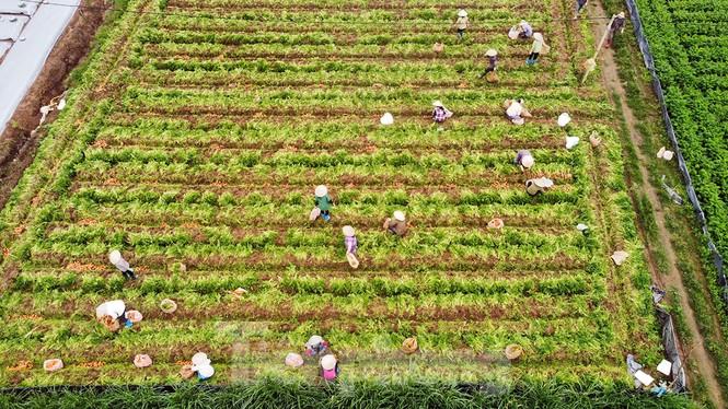 Gỡ lệnh phong tỏa, nông dân ở Hải Dương nườm nượp ra vườn nhổ bỏ nông sản  - ảnh 2