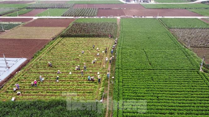 Gỡ lệnh phong tỏa, nông dân ở Hải Dương nườm nượp ra vườn nhổ bỏ nông sản  - ảnh 1