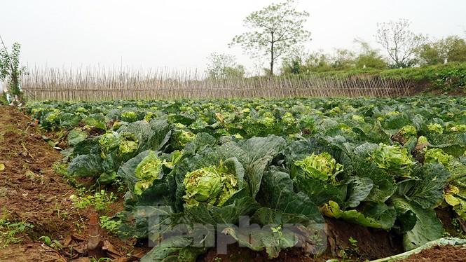 Gỡ lệnh phong tỏa, nông dân ở Hải Dương nườm nượp ra vườn nhổ bỏ nông sản  - ảnh 10