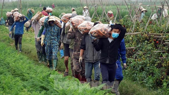 Gỡ lệnh phong tỏa, nông dân ở Hải Dương nườm nượp ra vườn nhổ bỏ nông sản  - ảnh 3